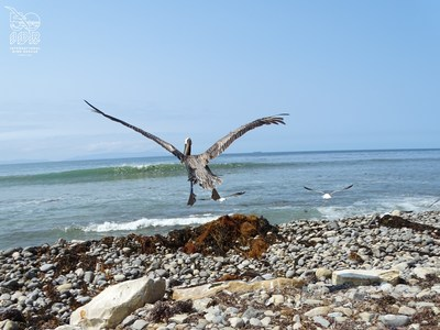 Brown Pelican released after International Bird Rescue rehabilitation.
