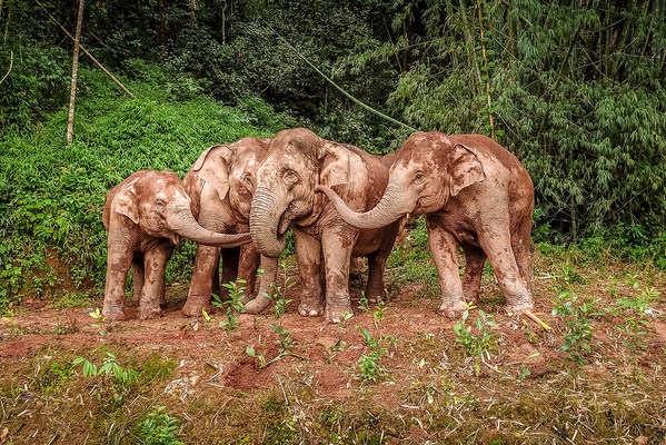 The Asian elephants play with mud. (Photo by Zha Wei) (PRNewsfoto/People's Daily Online)